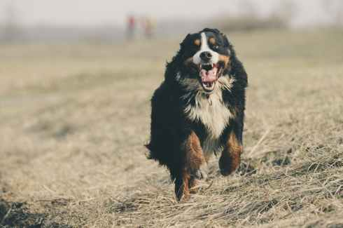 adorable animal berner sennen bernese mountain dog