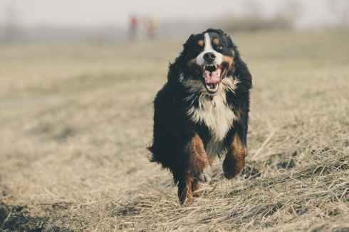 adorable animal berner sennen bernese mountain dog